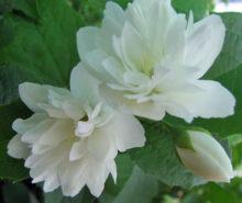 букет бланш цветок