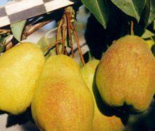 прибалтийская маслянитсая