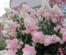 сирень бело-розовая
