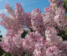 сирень розовая
